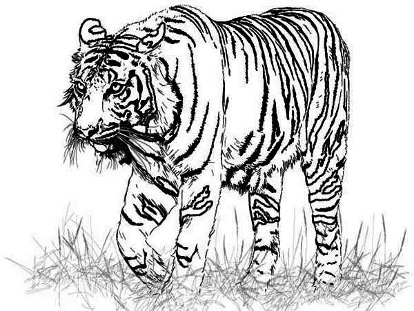 Tiger A Realistic Drawing Of Bengal Tiger Coloring Page