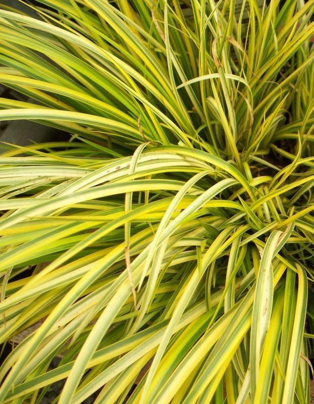 Golden Variegated Ornamental Grass. ACORUS GRAMINEUS OGON