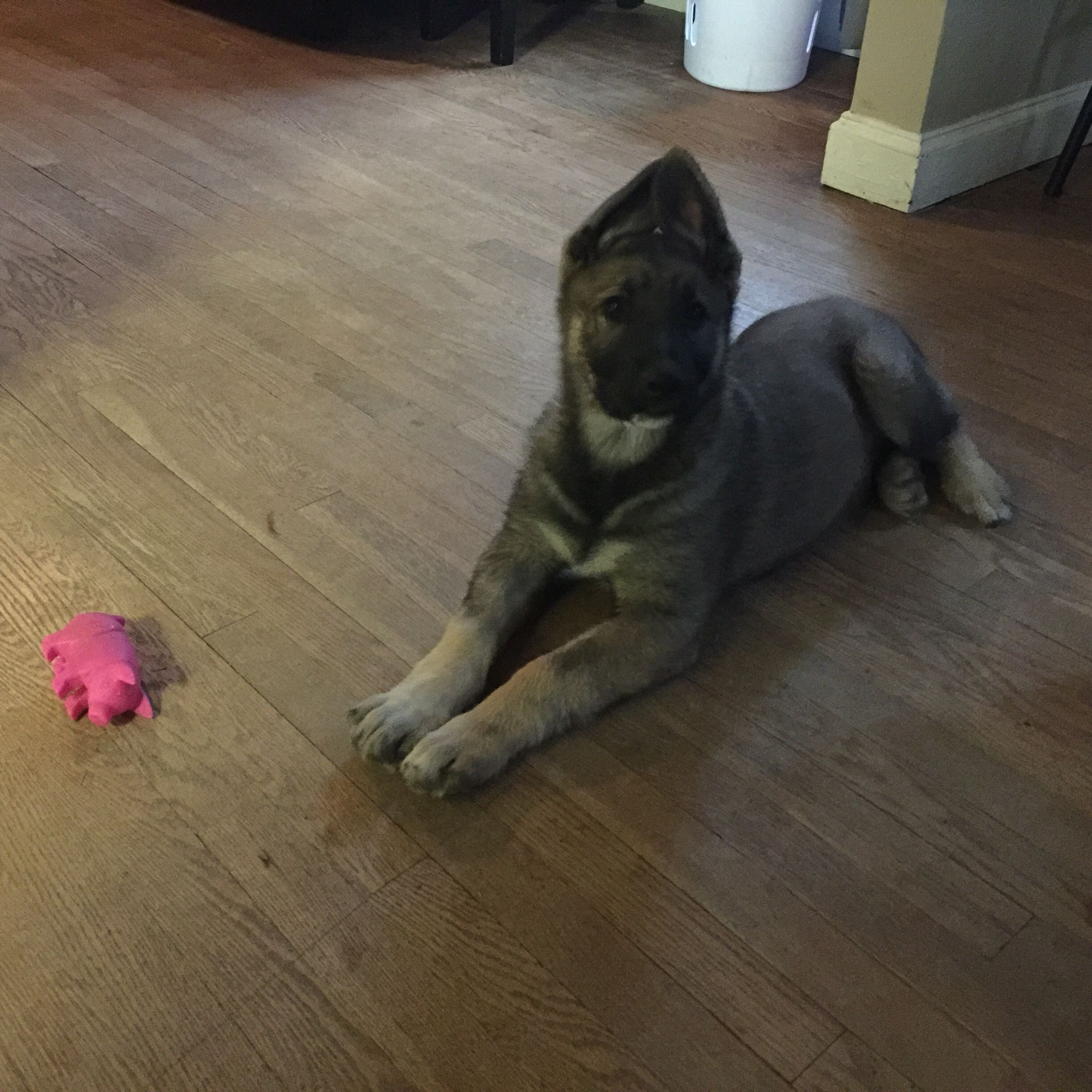 A Www Like My Tobias When Was A Handsome Puppy Cole Hahn Silver Sable Germa Silver Sable German Shepherd Sable German Shepherd German Shepherd Puppies