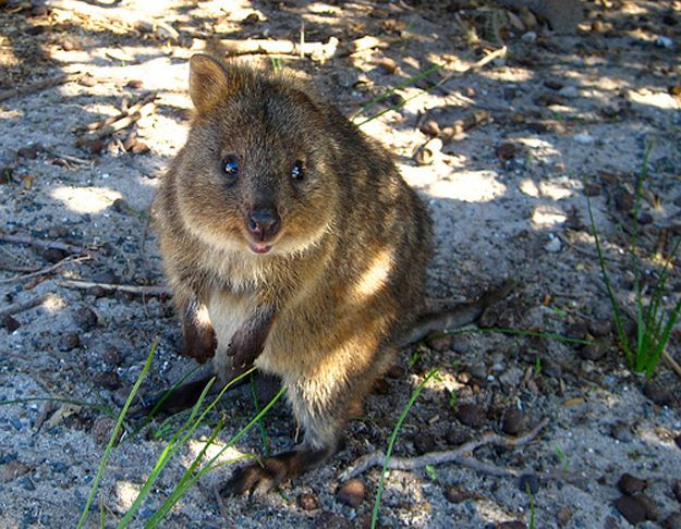 Meet The Happiest Animal In The World Quokka Happy Animals And - 15 photos that prove quokkas are the happiest animals in the world