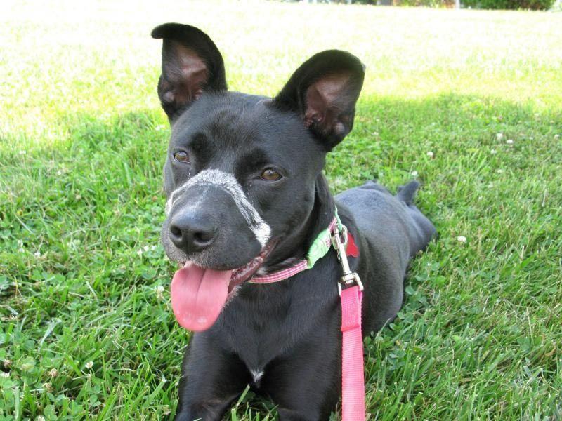 Boston Terrier Pitbull Lab Mix Dog Breed Information Pitbull