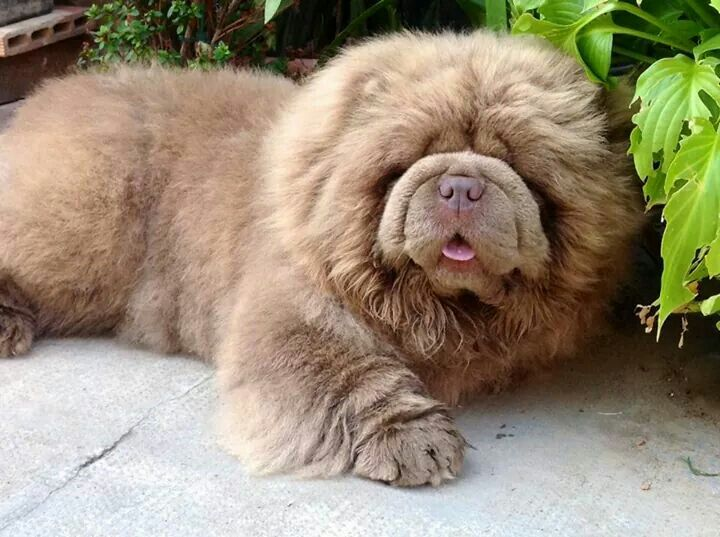 Cutie Pie Boo The Dog Chow Dog Breed Chow Chow Dogs