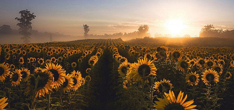 Girassol Campo Sky Planta Background Sunflower Fields Plant Background Meadow Flowers