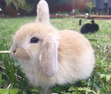 7 Baby Lop Bunnies For Sale Rabbits Gumtree Australia