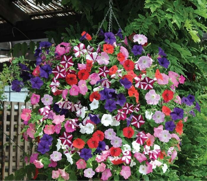 100pcs Mixed Colors Garden Petunia Flower Seeds Balcony Bonsai Calibrachoa