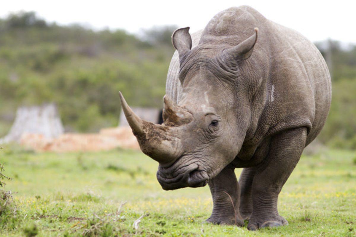 donde puedo comprar rhino