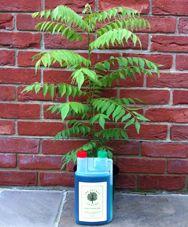 Curry Leaf Plant Murraya Koenigii Citruscentrecouk