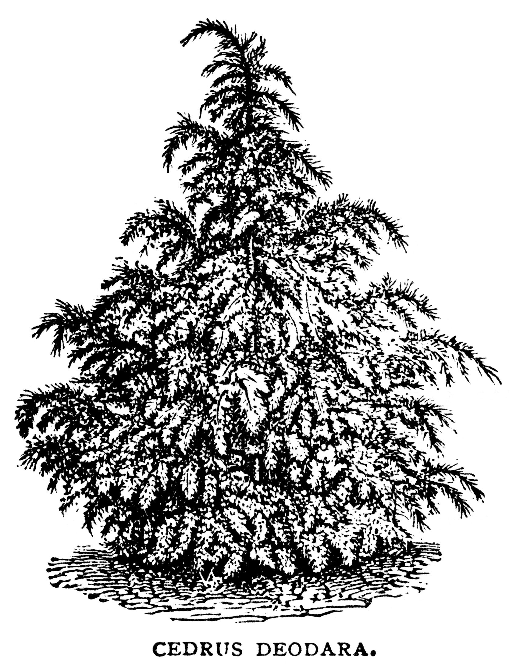 Black And White Graphics Botanical Spruce Tree Illustration Vintage Clip Art Cedrus Deodara Christmas Sketch