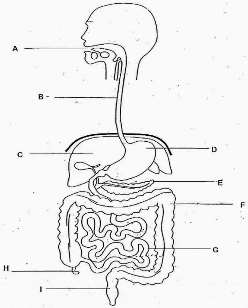 Diagram Digestive System No Labels