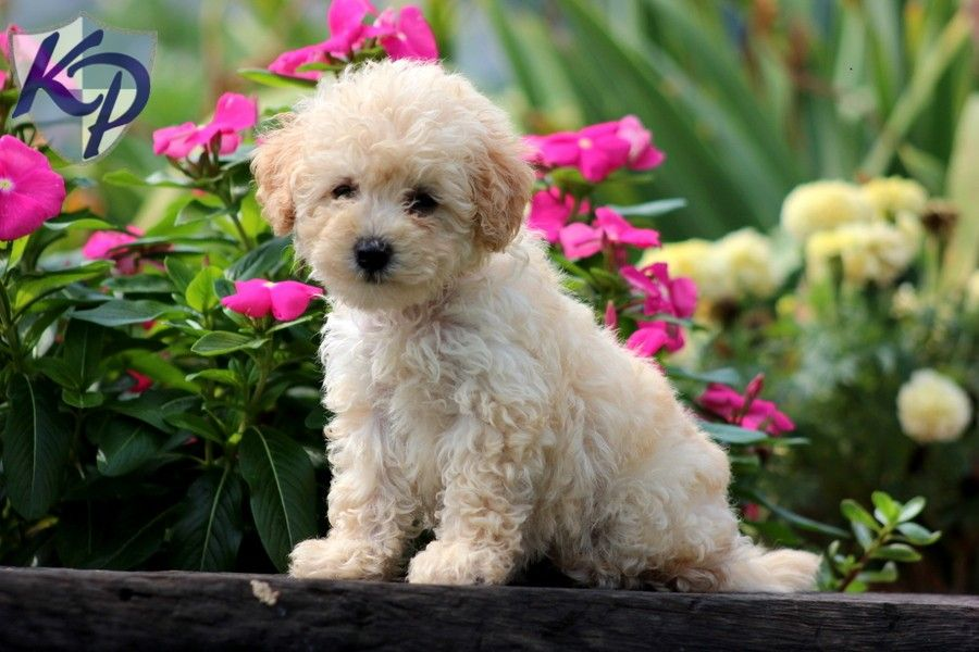 Bichpoo Puppies For Sale Health Guaranteed Keystone Puppies Puppies For Sale Puppies Poochon Dog