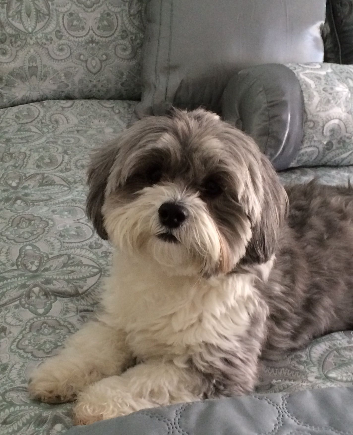 Shih Poo Puppylove Pinterest Shih Poo Dogs And Puppies