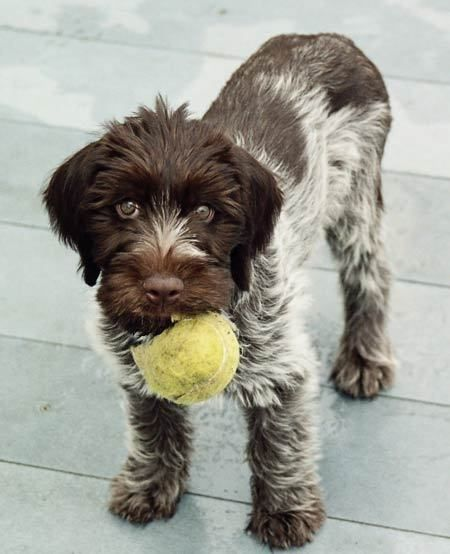 Wirehaired Pointing Griffon In Puppie Dog Dogs