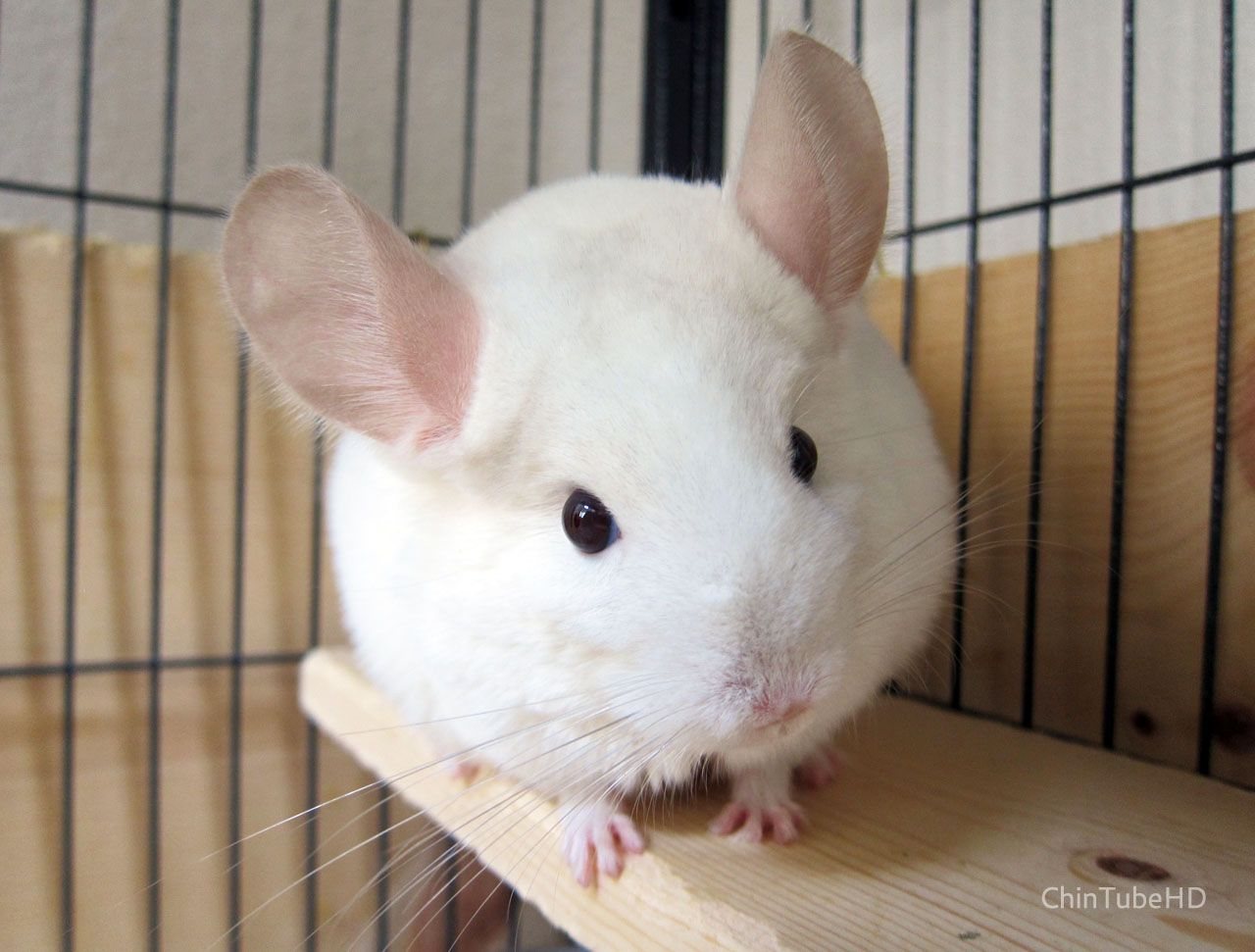 Momo the pink white chinchilla. | Chinchillas | Pinterest ... Pink White Chinchilla
