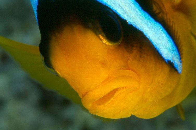 Pesce pagliaccio - (Amphiprion bicinctus)