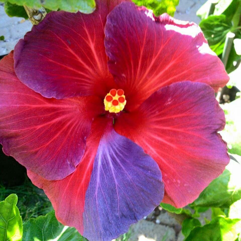 Night fire, Brad D. Hibiscus plant, Hibiscus, Hibiscus