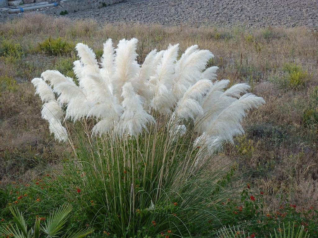 Grass ravennae grass or hardy pampas ornamental grass for Tall perennial grasses