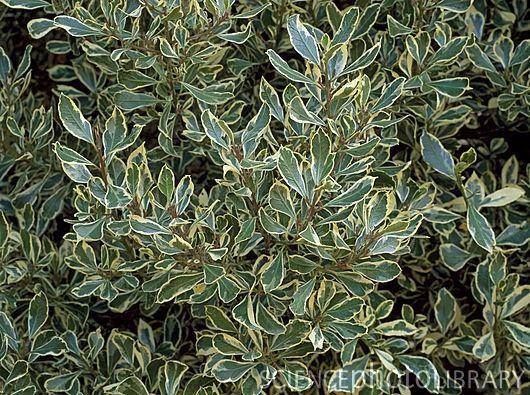 Variegated Italian Buckthorn Rhamnus Alaternus Argentovariegata An Underused And Beautiful Large Shrub Sparkles In Plants Fine Gardening How To Dry Basil