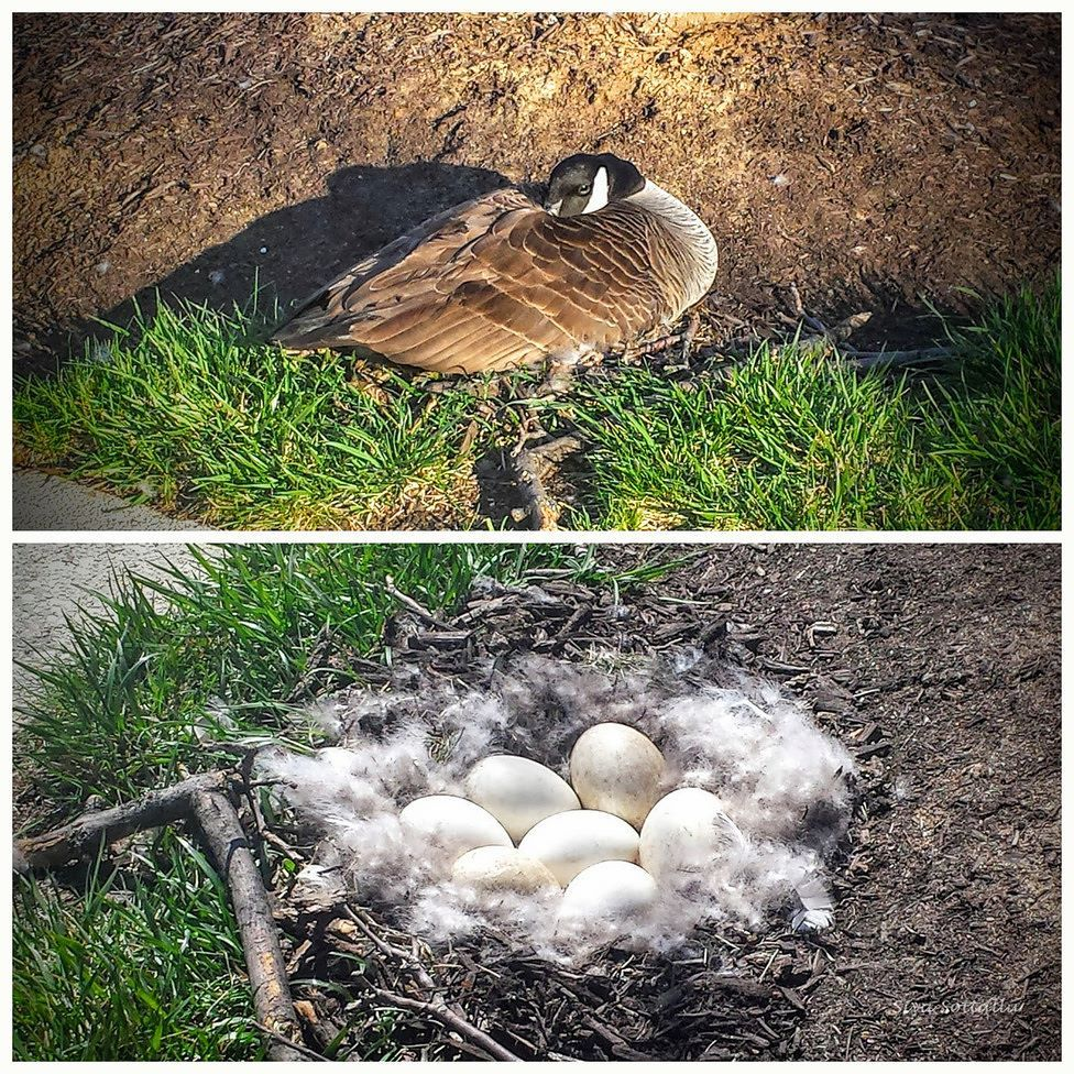 Siva Sottallu On Instagram Canada Goose With Her 7 Eggs Motherhood Mother Goose Eggs Canadagoose Incubating Nes Canada Goose Goose Instagram Posts
