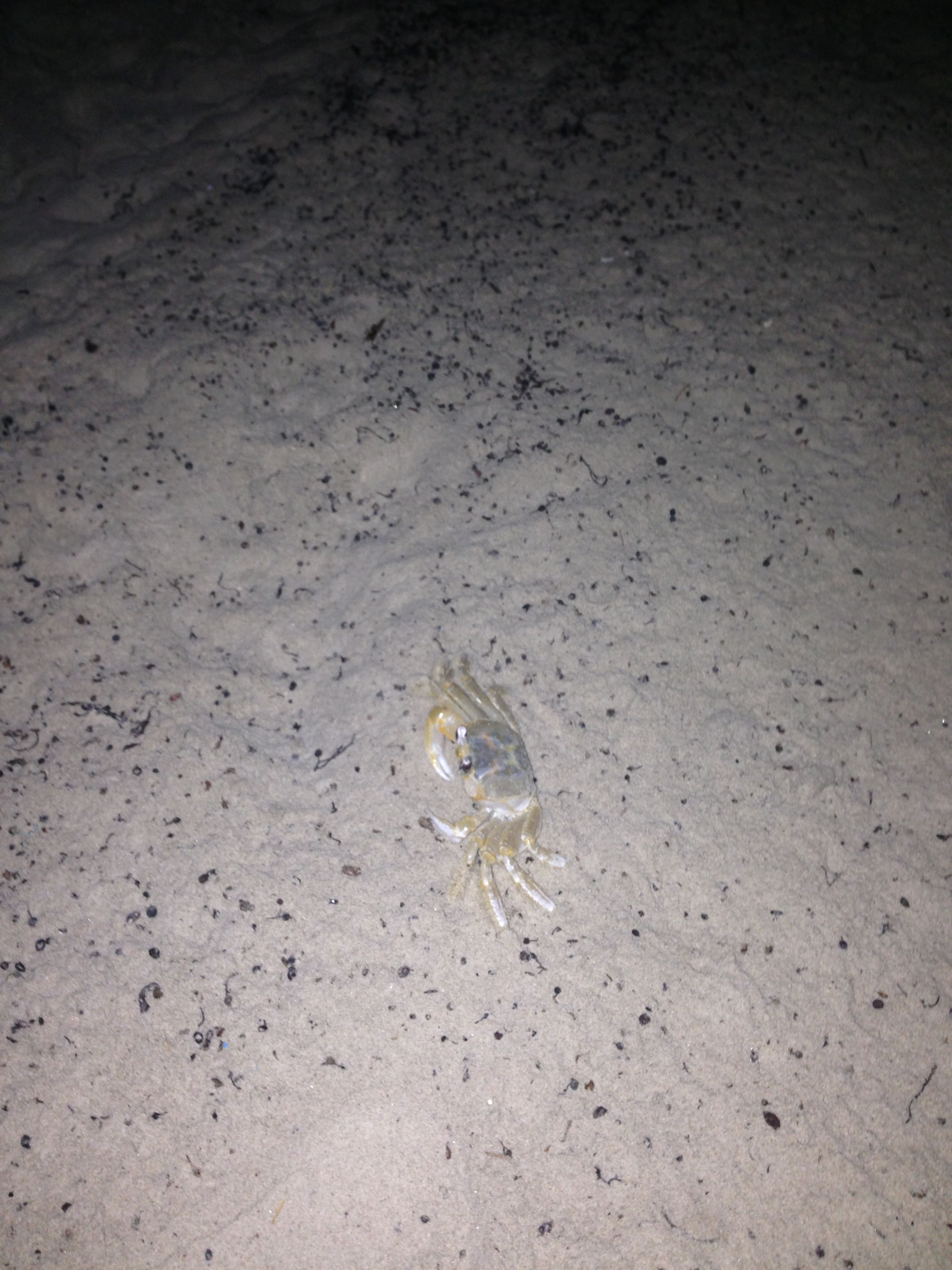 Ghost Crabs On The Beach In Galveston Island Only Come Out At Night And Dig Holes Sand For Home So Cute