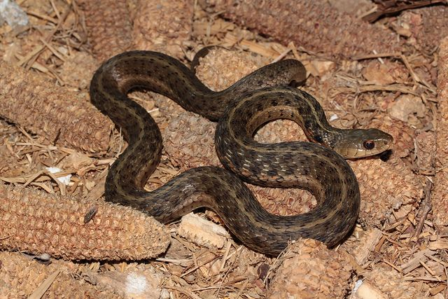 Field Herp Forum View Topic Ky Serpents Beautiful Snakes Snake Animals