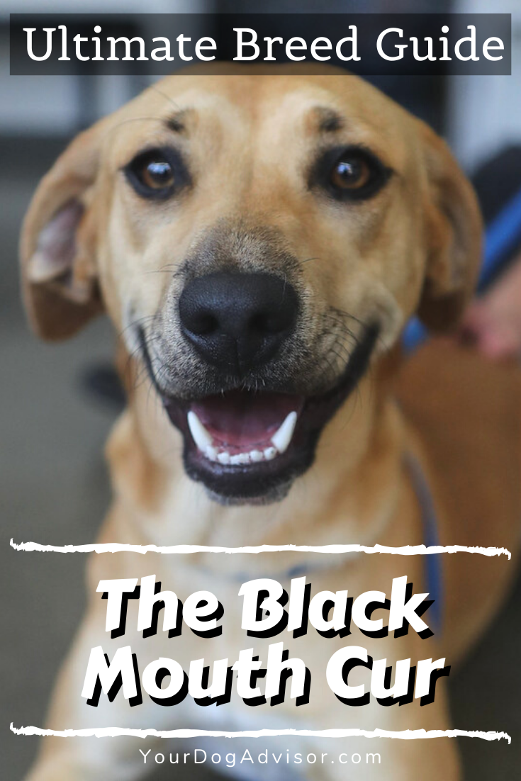 The Black Mouth Cur - Ultimate Breed Information Guide - Your Dog Advisor