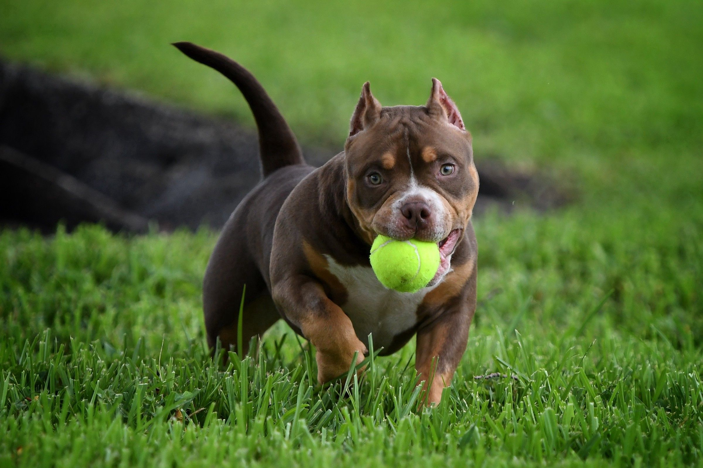 Best Of The Tri Color American Bully American Bully Kennels