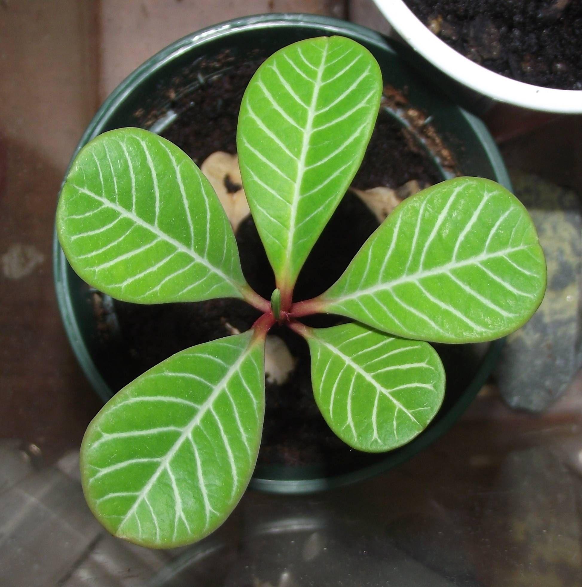 Madagascar Jewel (Euphorbia leuconeura) on an office