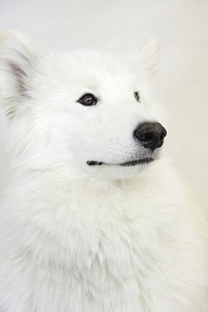 White Dog Posted By Ur Basic Via Anotic Tumblr Com White Dogs Animals Beautiful Animals