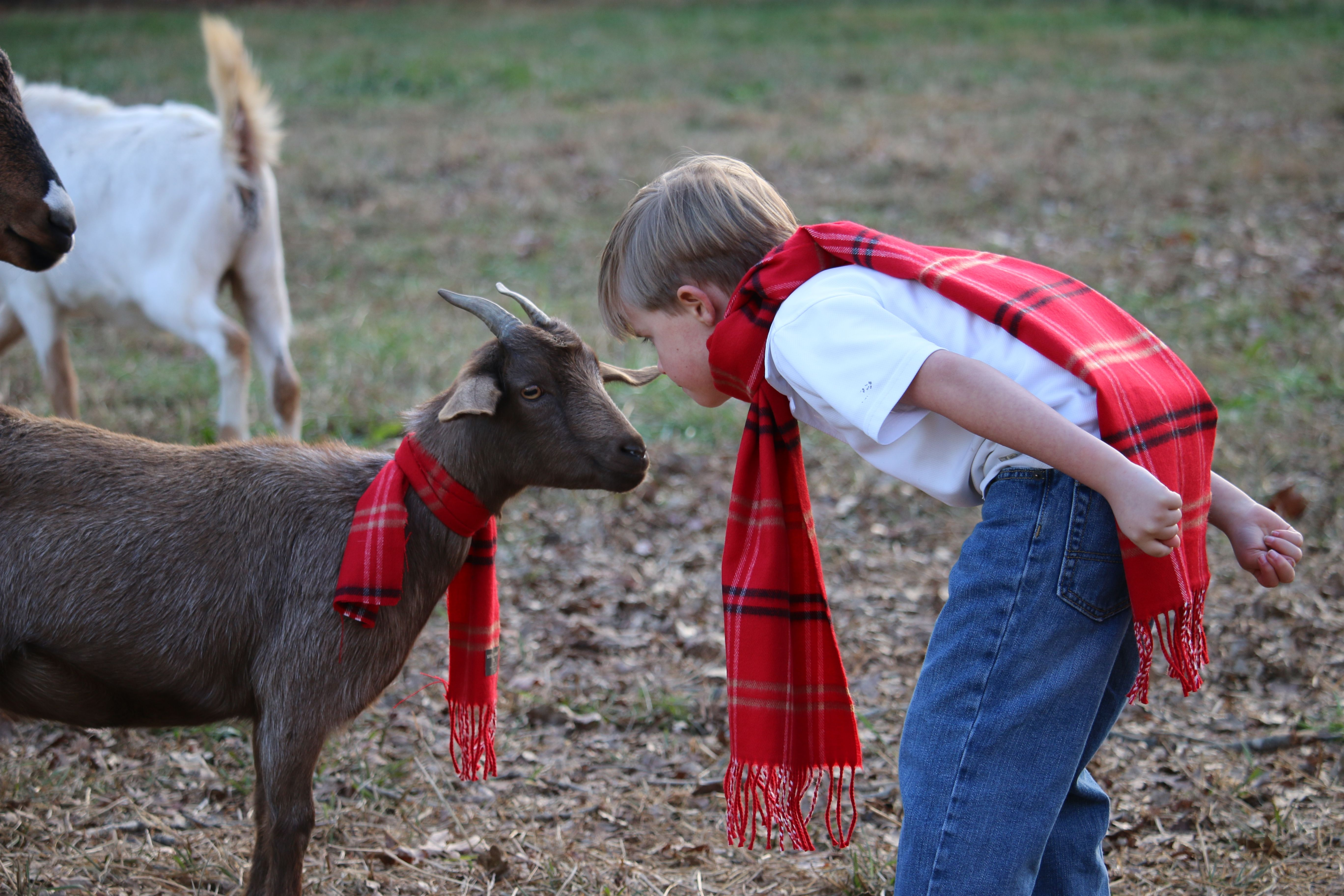 Christmas goat picture goat picture christmas pictures