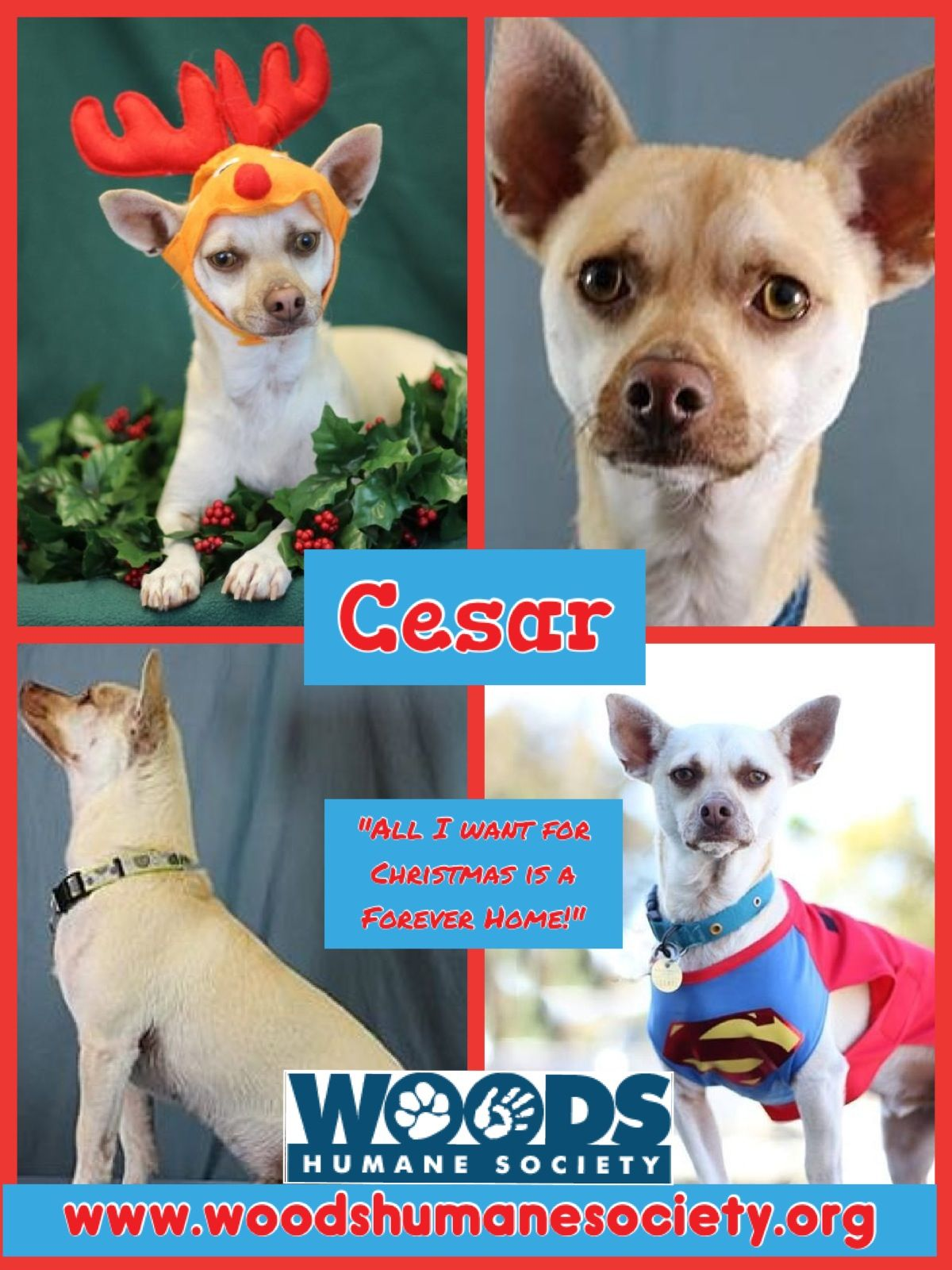 """Ceasr! """"All I want for Christmas is a forever home"""