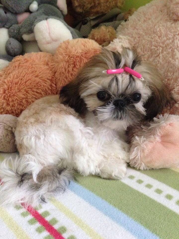 Pin By Suzanne Montoya Mckoy On Shih Tzu Shih Tzu Puppy Shih Tzu Puppies