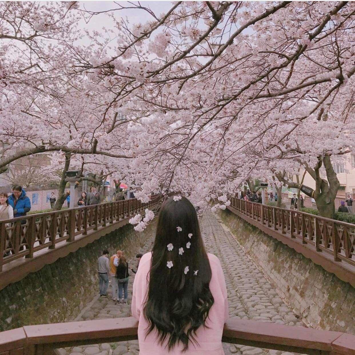 29 Gambar Aesthetic Bunga Sakura Sugriwa Gambar