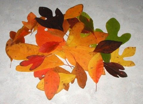 The Many Colors Of Sassafras Native Plants Watercolour
