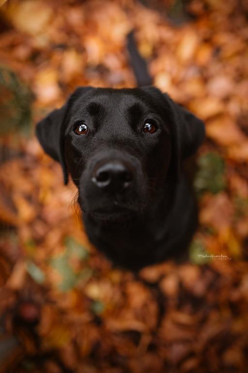 Labrador Retriever Im Herbst In 2020 Haustierfotografie Hunde Fotos Schwarze Hunde