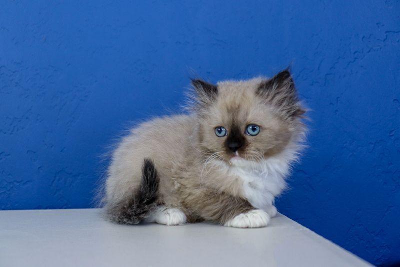 Ragdoll Kittens For Sale Near Me Ragdoll Kitten Kittens Cutest