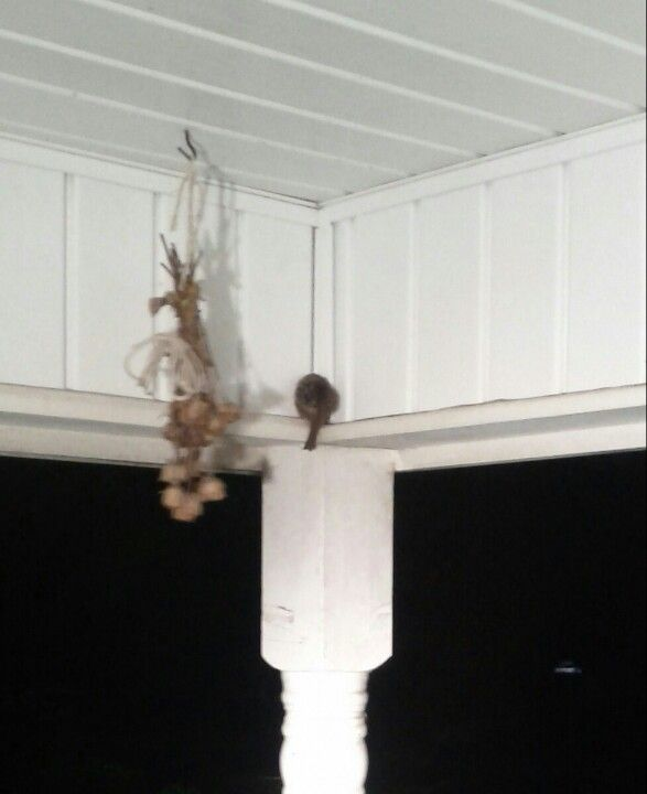 Awww on our front porch sleeping carolina wren animal kingdom awww on our front porch sleeping carolina wren sciox Image collections