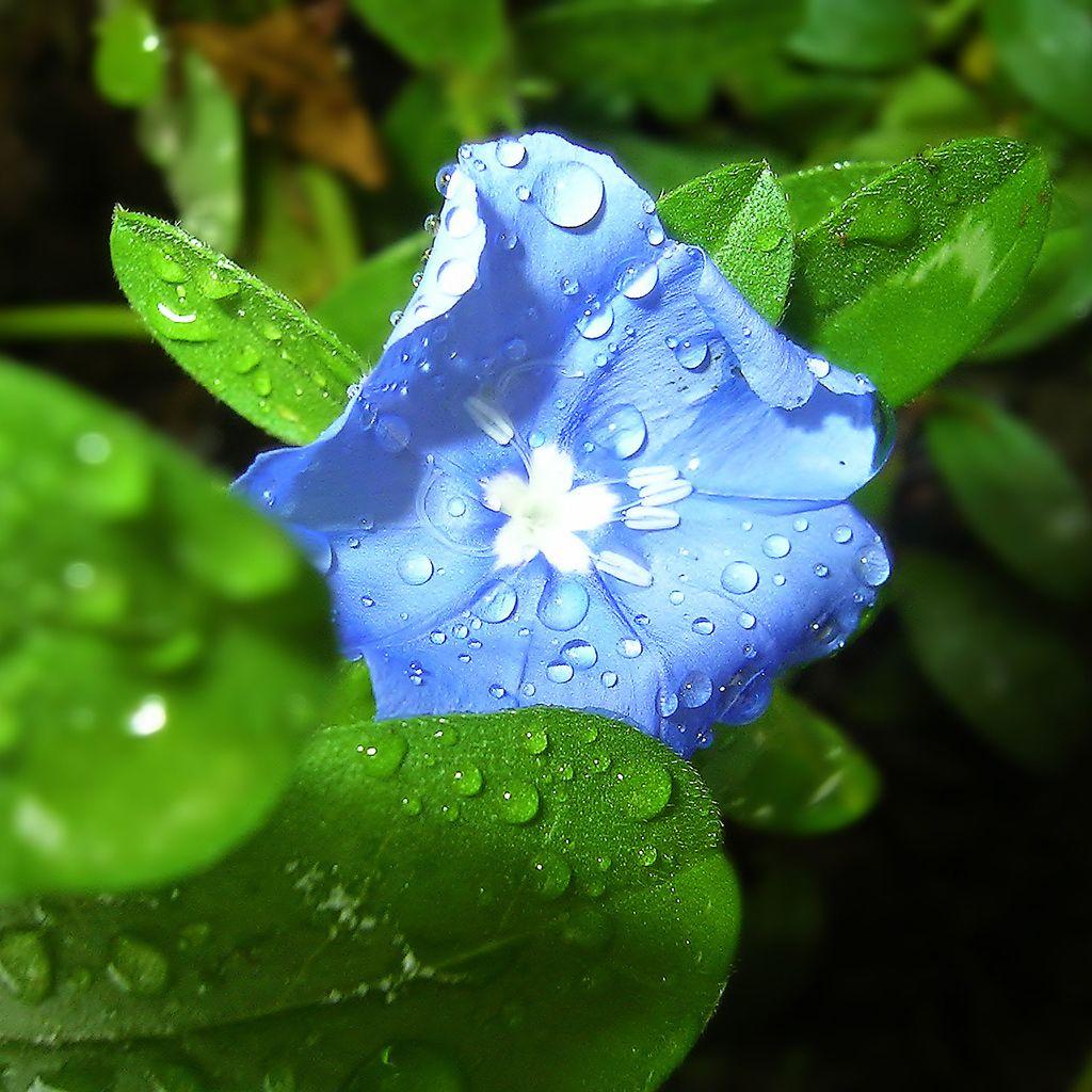 Glory Morning Vine Blue Flowers Blueflower Recipes To Cook