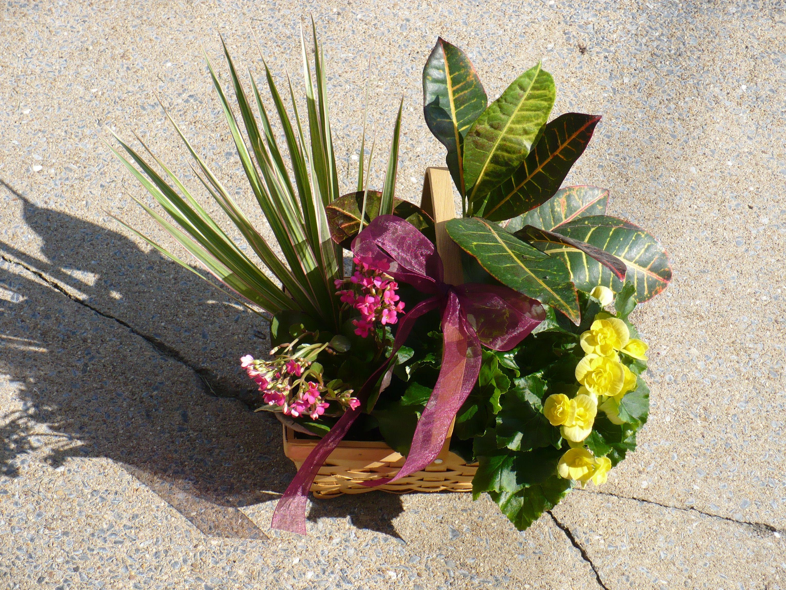 Yellow begonia, croton, dracaena, and a pink kalanchoe ...