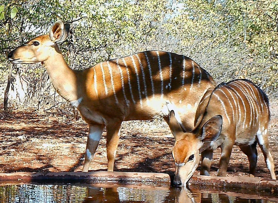 "1 Likes, 1 Comments - Riebelton Safaris (@riebelton_safaris) on Instagram: ""A Nyala ewe with her year-old, weaned calve... #nyala"""