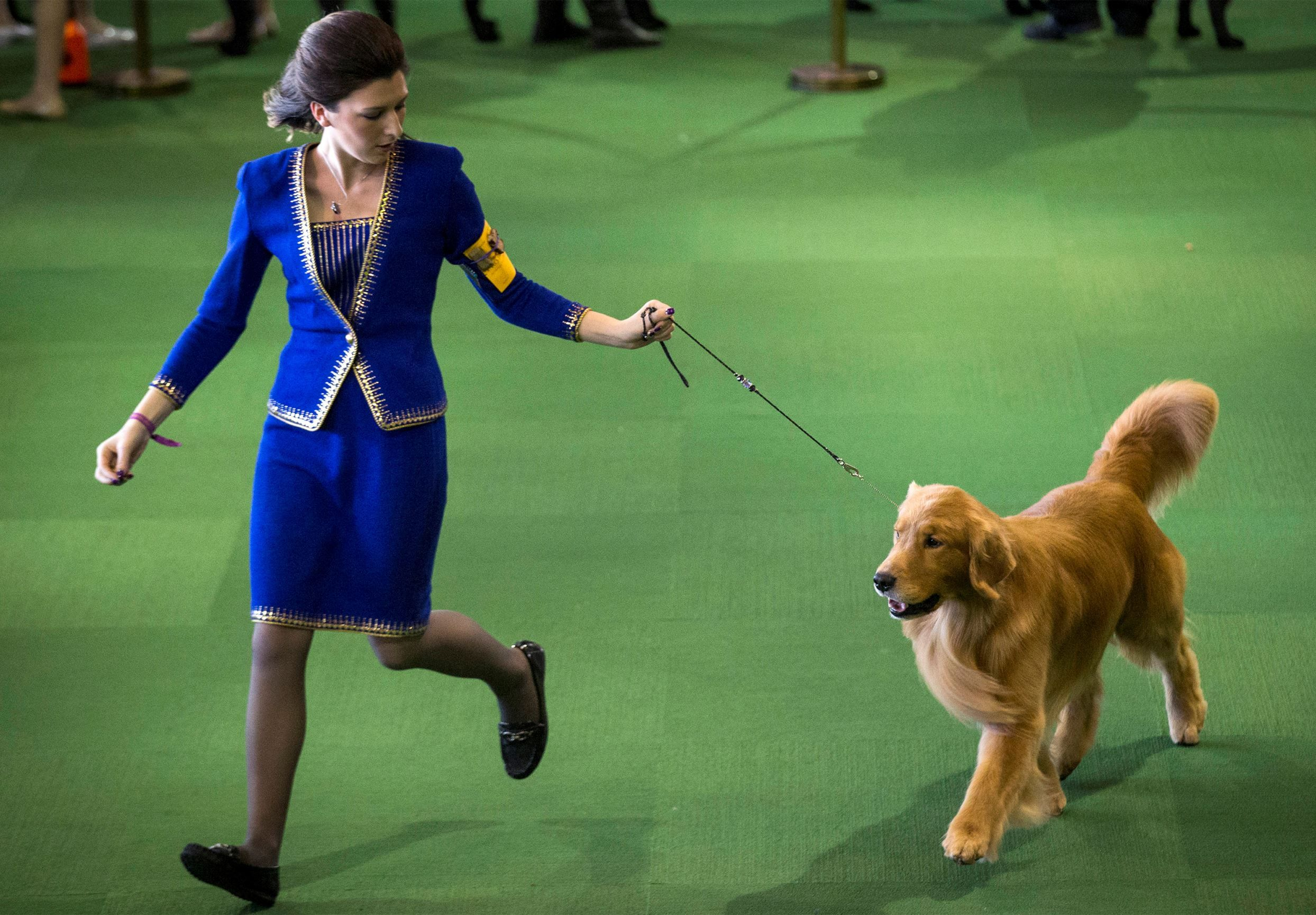 2015 Westminster Dog Show What A Beauty Golden Moment A