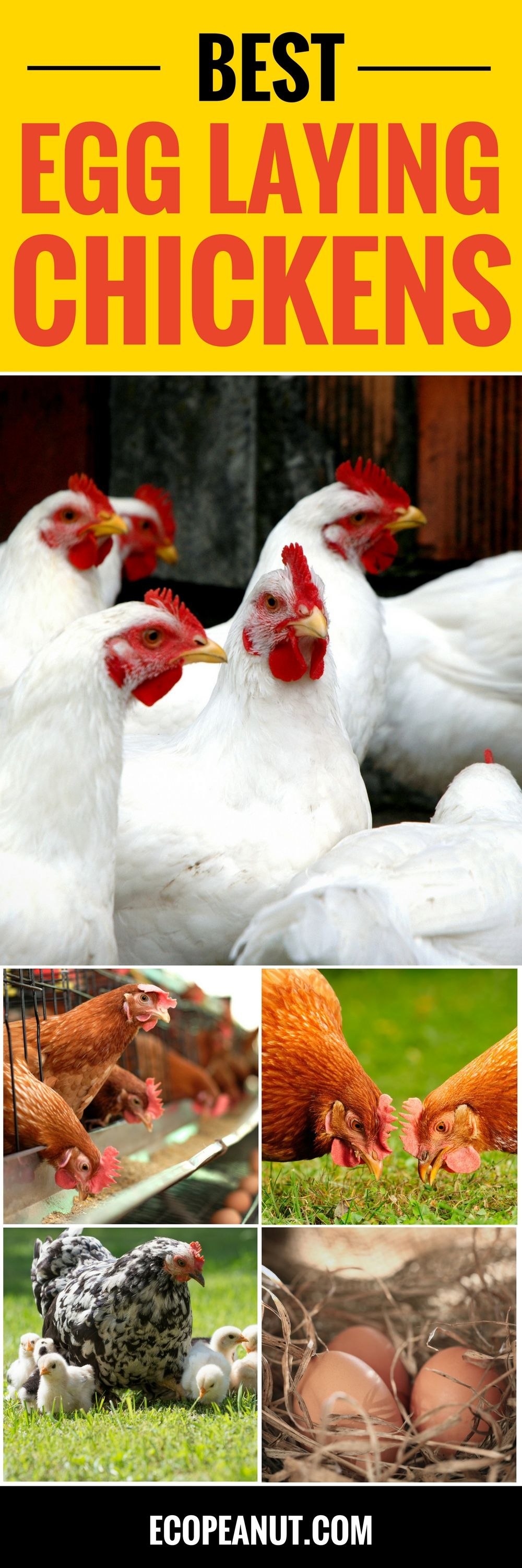 What Are The Best Egg Laying Chickens? | Chickens backyard ...