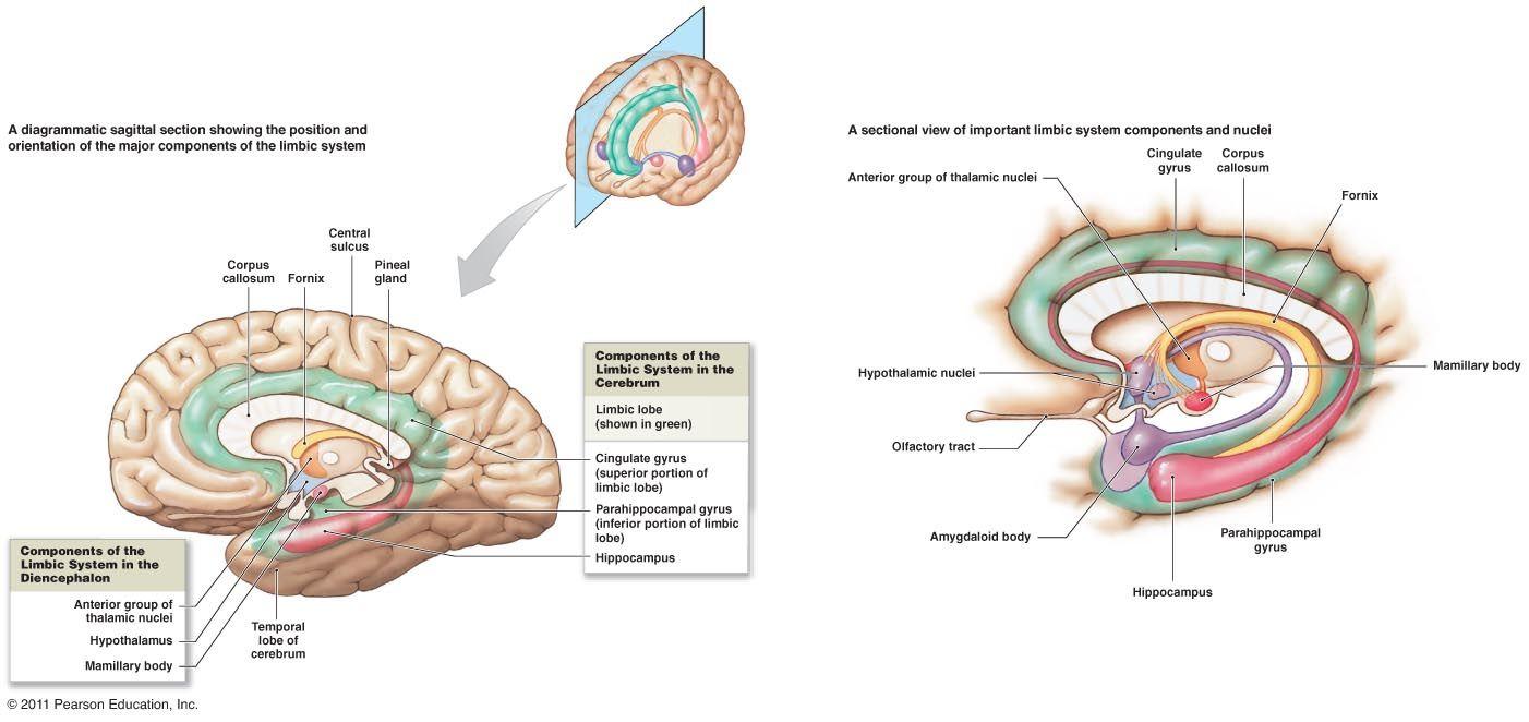 limbic system diagram - Google Search | cns | Pinterest