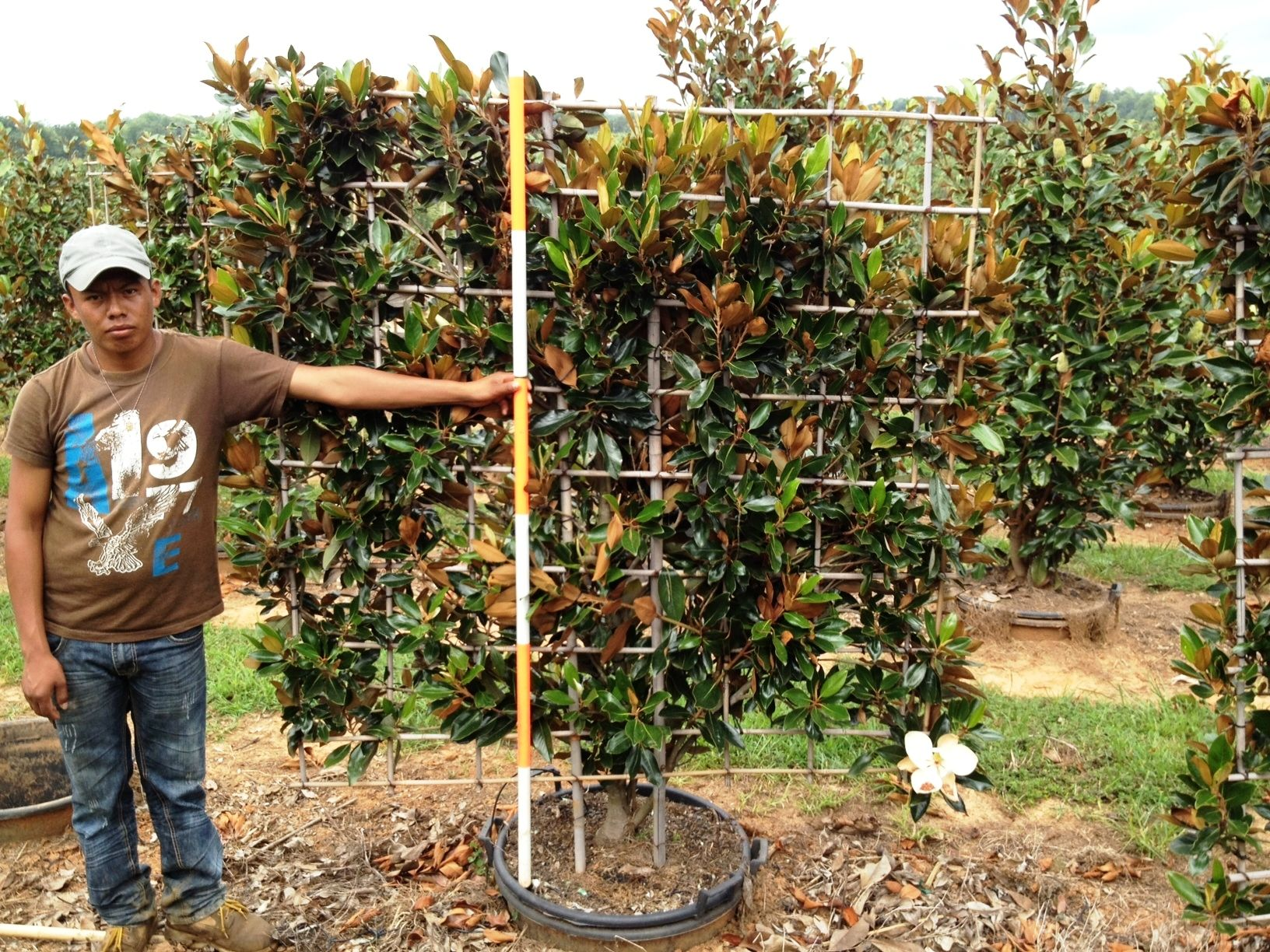 Little Gem Magnolia Espalier From Hale And Hines Nursery Topiary Trees