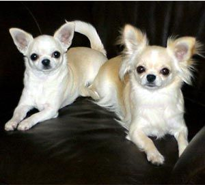 The Westminster Kennel Club Breed Information Chihuahua Chihuahua Chihuahua Dogs Chihuahua Love