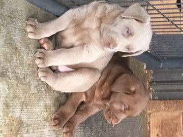 Labrador Retriever Puppy For Sale In Bowling Green Ky Adn 42269