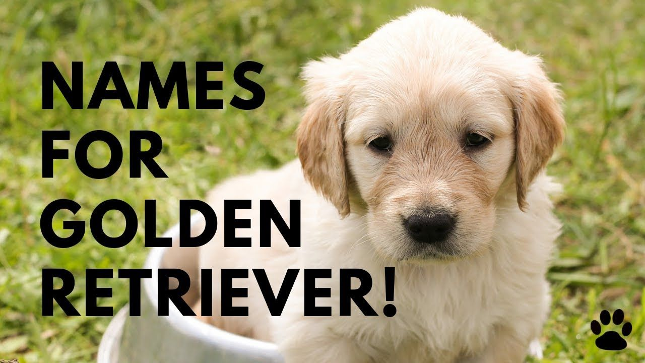 Female Golden Retriever Puppy Names Ideas