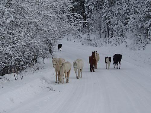 Wild Horses of nemiah, walking in the snow.