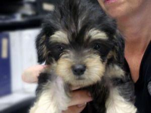 Trixie Is An Adoptable Shih Tzu Dog In Kokomo In Meet Our