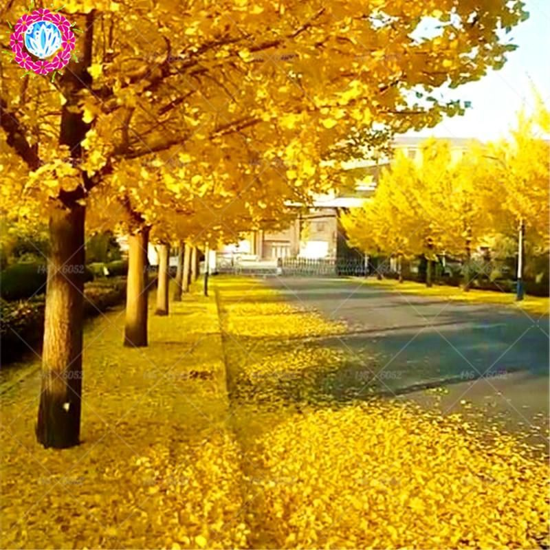 Autumn Yellow Leaves 5 Pcs Ginkgo Biloba Gingko Maidenhair Tree Seeds Nuts Bonsai Tree Grown From Seed Plant Pot For Home Tree Seeds Growing Tree Growing Seeds