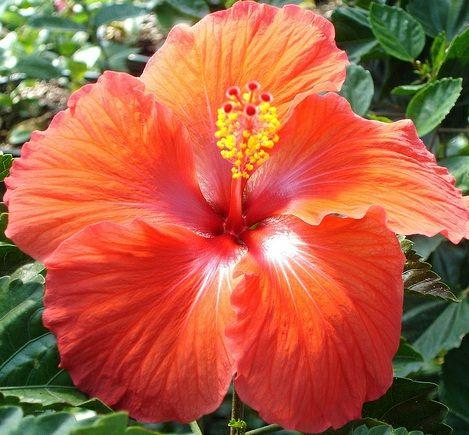Orange Hibiscus Rose Yellow Rose Hibiscus White Hibiscus Red